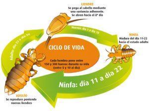 ciclo de los piojos